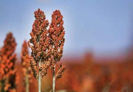 sorghum-photo-image