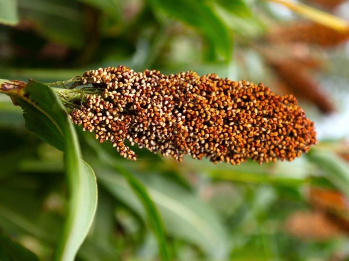 Sorghum benefits 77