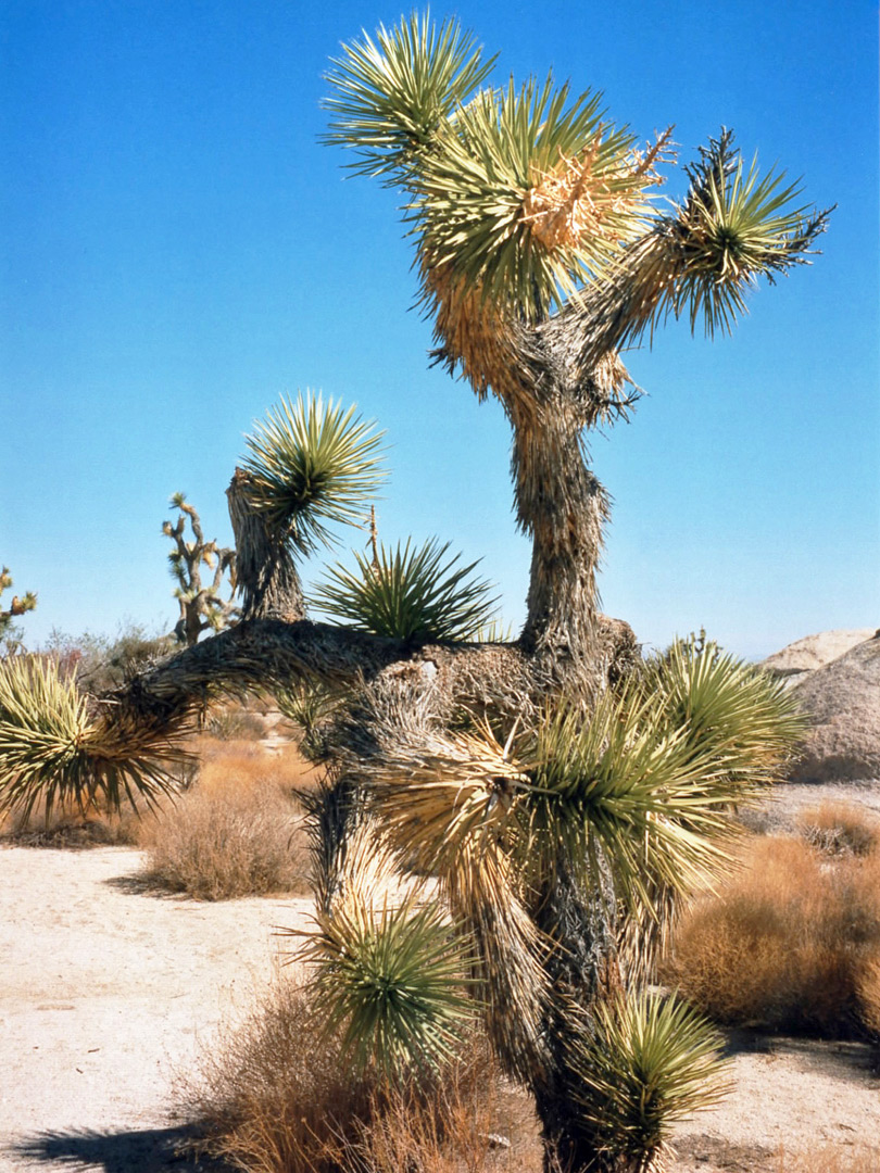 A Joshua Tree Cacti And Flowers In Joshua Tree National