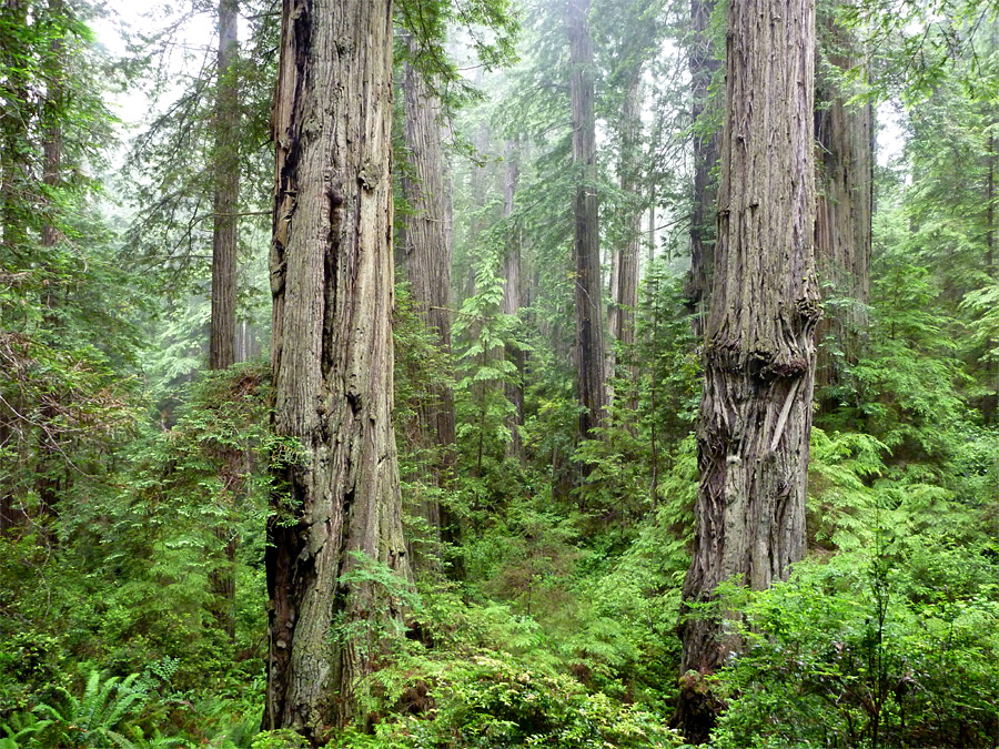 Find the perfect dense forest stock photos and editorial news pictures from getty images. Dense Forest Miners Ridge And James Irvine Trails Prairie Creek Redwoods State Park California