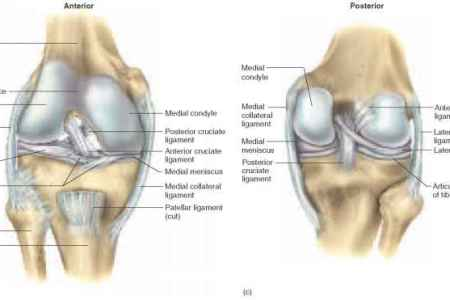 Interior Ligaments And Cartilage Knee Full Hd Maps Locations