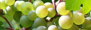 amerstem-green-bio-technology-genetics-company-applications-aggriculture fruits
