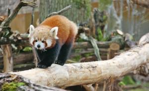 Dans la nature, le panda roux vit dans des forêts humides, à une altitude allant de 700 à 4800 m. La température varie de 10 à 25°C - Photo CG