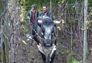 Traction bovine à l'écomusée d'Alsace