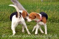 Se Miss Beagle va in calore foto