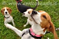 beagle salta addosso foto