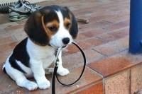 beagle non cammina foto