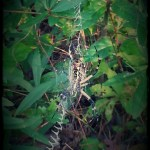 Yellow and Black Garden Spider