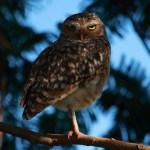Observación de Búhos en Naha