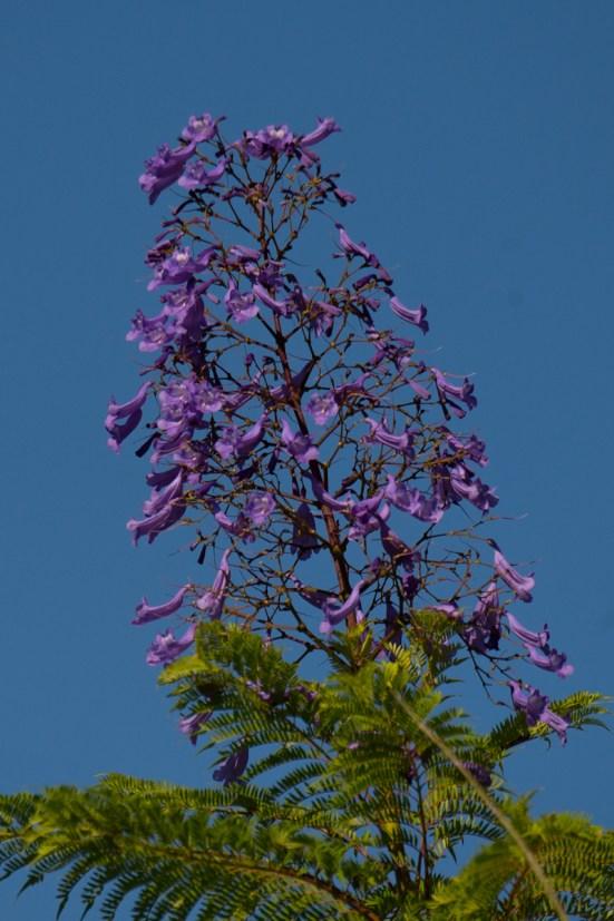 001 - Jacaranda mimosifolia