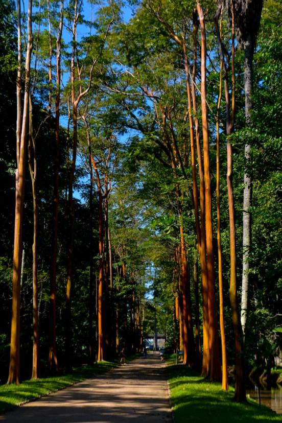 01 - Calophyllum brasiliensis