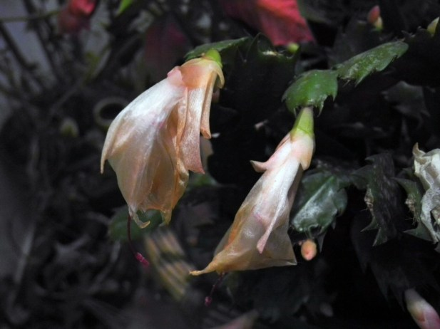 01 Schlumbergera truncatus