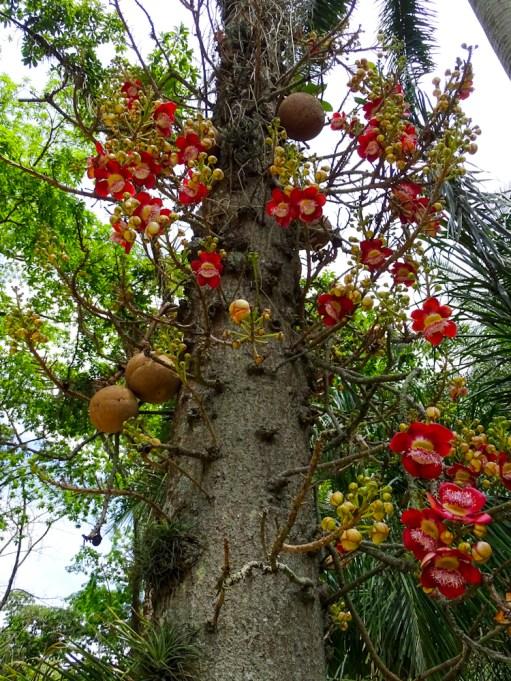 02 - Coroupita guianenses (2)