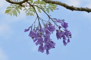 02 - Jacaranda mimosifolia