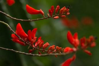 03 Erythrina senegalensis
