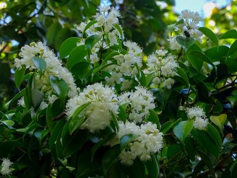 03 - Eugenia copacabanensis