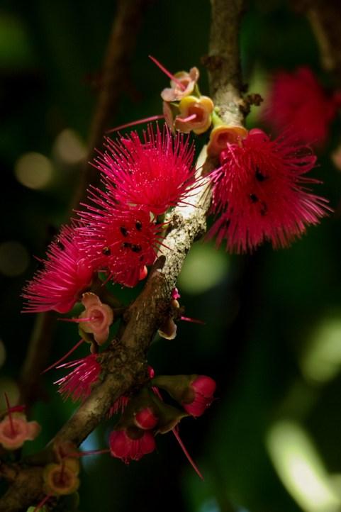 03 Syzygium malaccensis 1