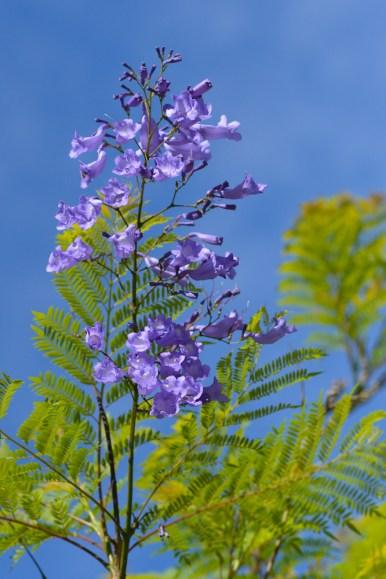 04 - Jacaranda mimosifolia