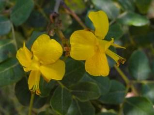 046 - Caesalpinia pyramidalis