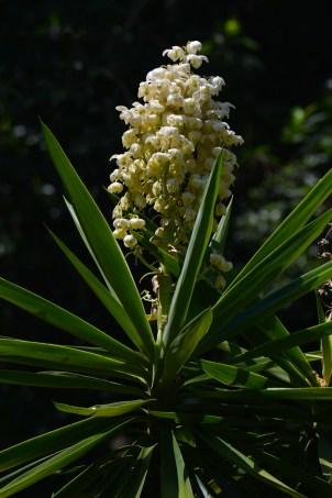 047 - Yucca aloifolia