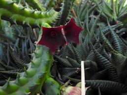 05 - Euphorbia enopla