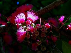 05 - Syzygium malaccensis