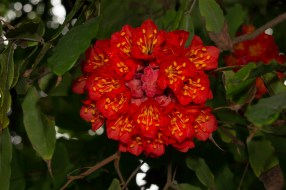 06 - Brownea grandiceps