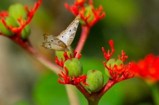 06 - Jatropha podagrica
