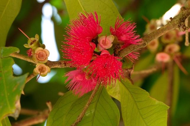 06 - Syzygium malaccensis