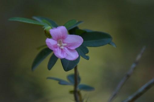 062 - Ravenia spectabilis