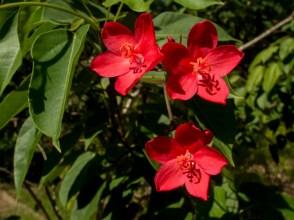 07 - Jatropha panduraefolia