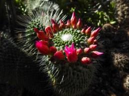 07 - Mammillaria sp