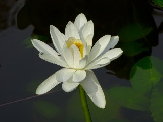 07 - Nymphaea lotus
