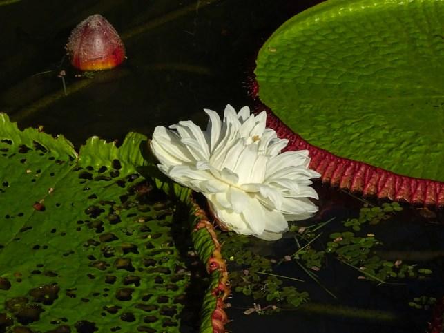09 - Victoria amazonica (a)