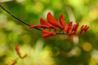 11 - Erythrina senegalensis