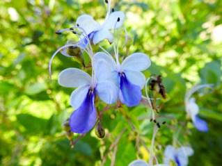 12 - Clerodendron ugandense