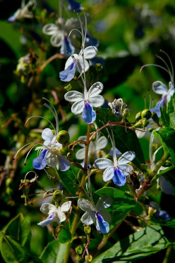 13 - Clerodendron ugandensis