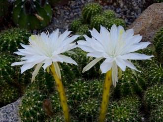 16 - Cactus Gynnoscalium
