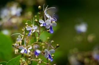 19 - Clerodendron ugandensis
