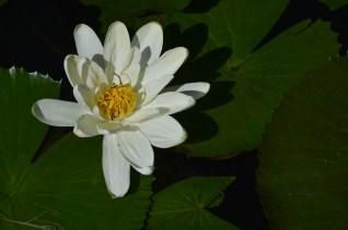 19 - Nymphaea lotus