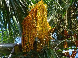 21 - Mauritia flexuosa