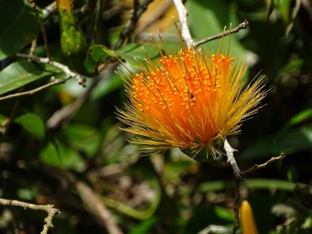 22 - Stifftia crysantha
