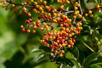 23 - Schefflera arborícola