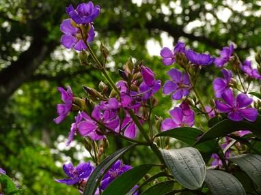 23 Tibouchina granulosa (1)