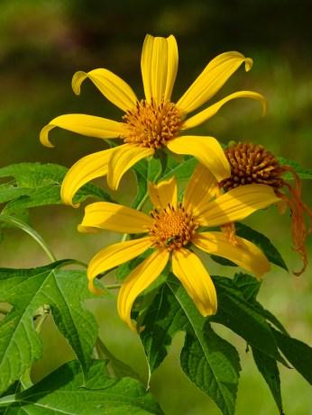 23 - Tithonia diversifolia