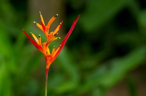 24 Heliconia psitacorum