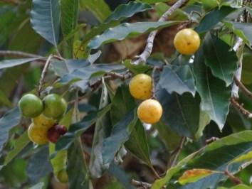27 - Byrsonima coryaceae
