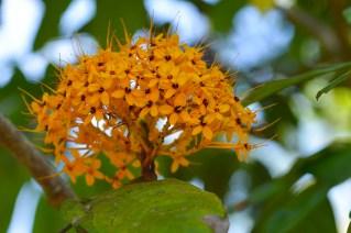 27 - Saraca thaipingensis