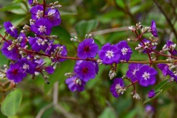 28 - Tibouchina heteromala