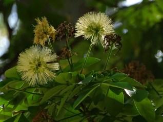30 - Abarema cochliacarpus